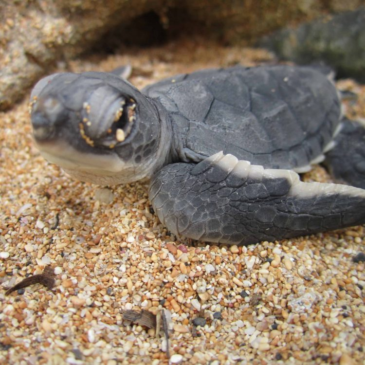 Marapa Schildkrötenprojekt